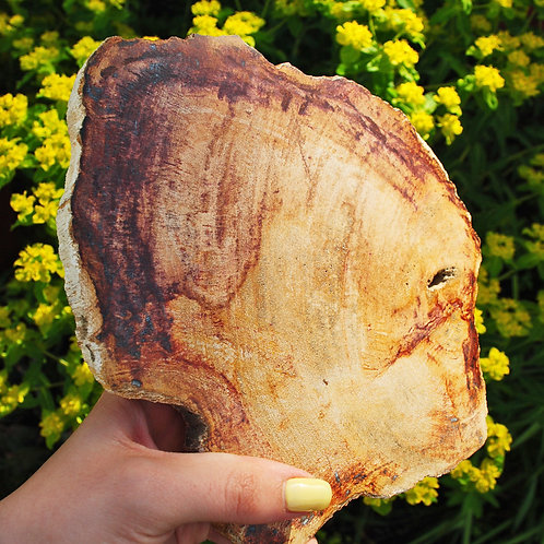Petrified Wood | Fossil | Wood Fossils | Wood Decor | Natural Decor | Renewal