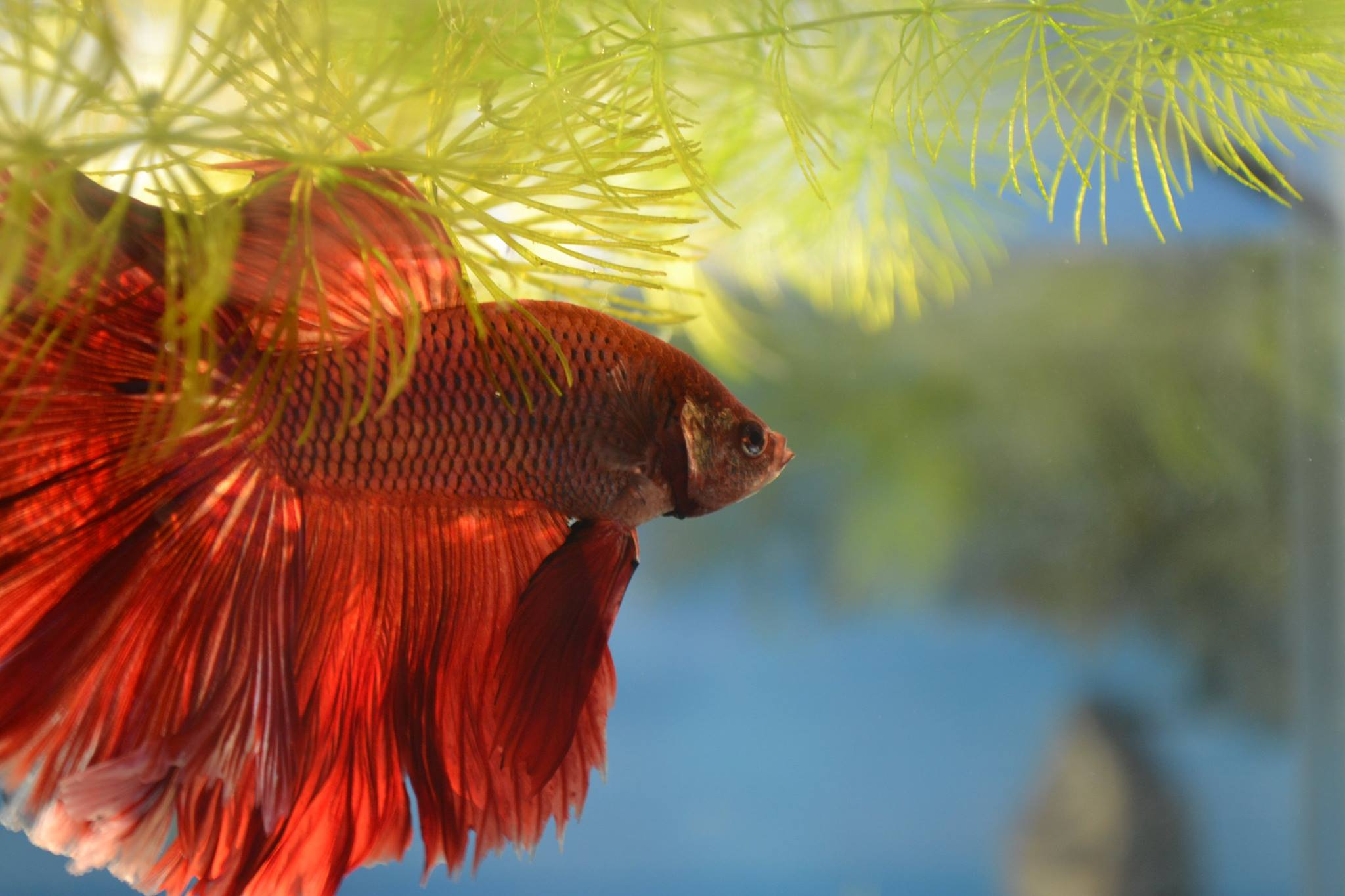 Red HM Betta