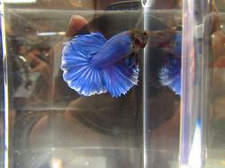 Blue HM
