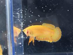 Yellow HMPK