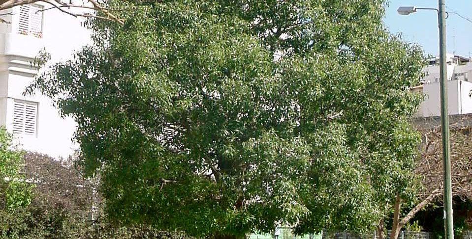Bottle Tree 'Brachychiton'