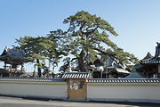 大慶寺 久遠の松.jpg
