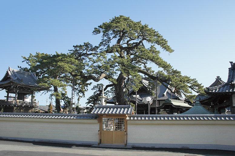 大慶寺|久遠の松.jpg