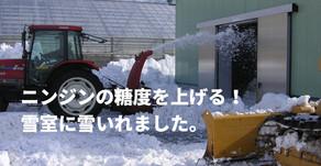 ニンジンの糖度を上げる! 雪室に雪いれました。