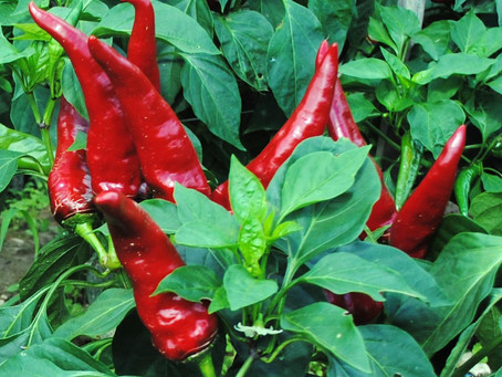Hungarian Paprika Peppers