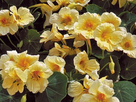 Nasturtiums Flowers & Leaves