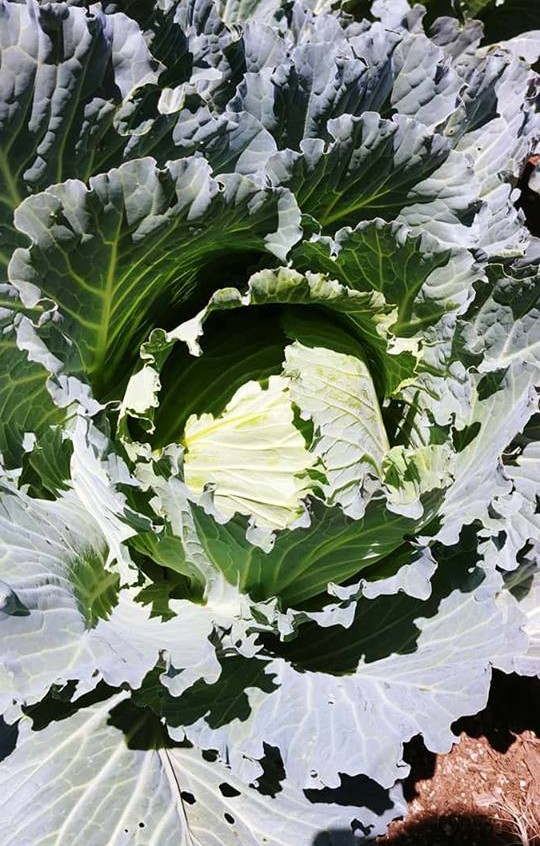 Brunswick Cabbage