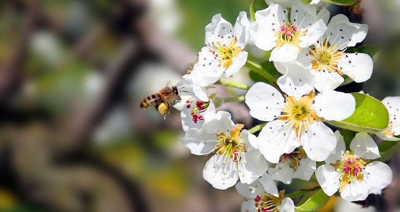 fleur de pommier.jpg