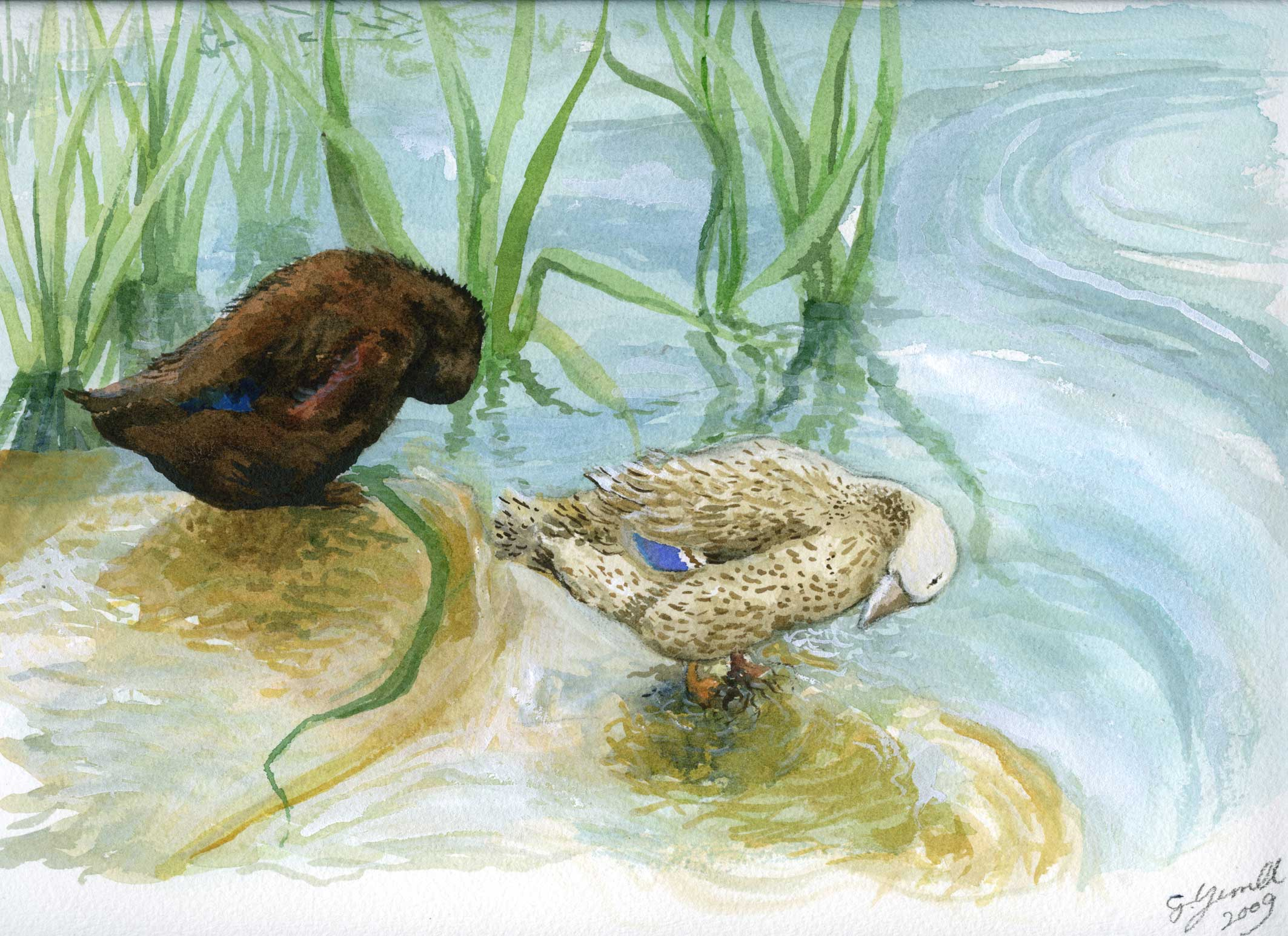 ducks_watercolour-painting_gail-yerrill