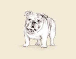 british-bulldog-gail-yerrill