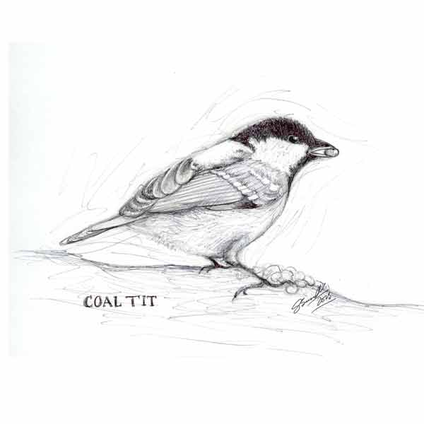 Coal-tit_drawing_gail-yerrill