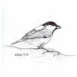 Coal-tit_drawing_gail-yerrill