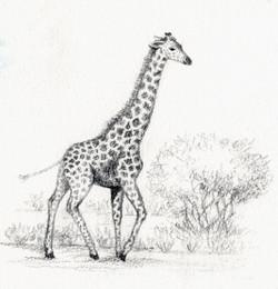 Sketch of a giraffe