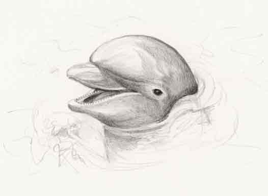 Dolphin sketch