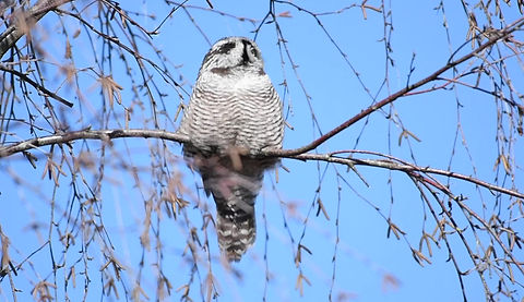 Northern Hawk-Owl in BC Canada