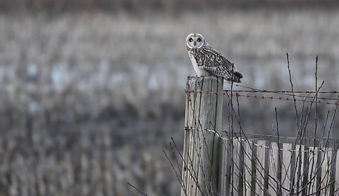 A short-eared owl listening and watching for a vole no doubt from a post in BC Canada