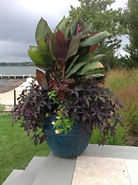 Purple Leafed Cana and Potato Vine