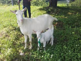 山羊譲渡0612.JPG