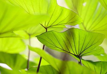 taro leaves.jpeg
