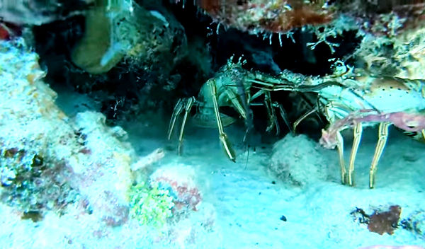 reintroduced%20lobsters%20to%20our%20ree
