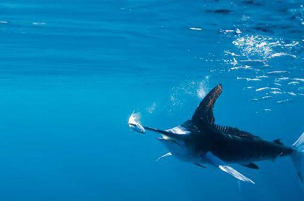 BILLIONAIRES-ISLAND MARLIN SAILFISH FISH