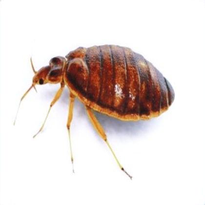 bed-bugs-bites_orig_edited.jpg