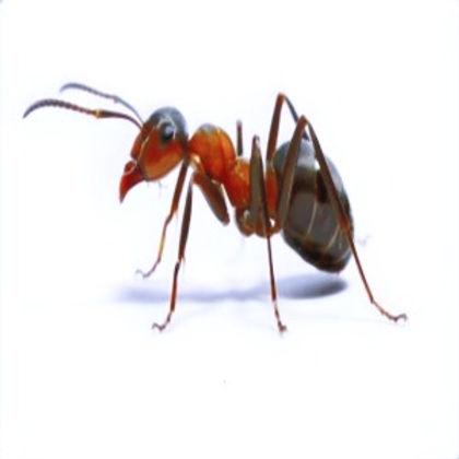 carpenter-ants-west-seneca_orig_edited.j