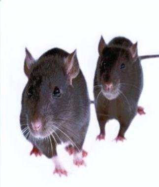 rats_edited_edited.jpg