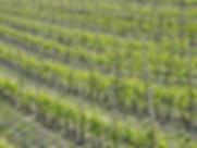 Piedmont vines.jpg