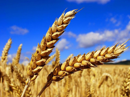 Ukraine wheat exports reach 95% of target volume