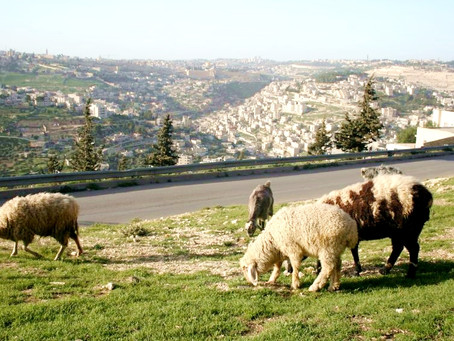 Israel deploys sheep to fight fires