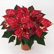 Red Glitter Poinsettia