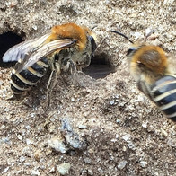 Solitary Bees Collettes species