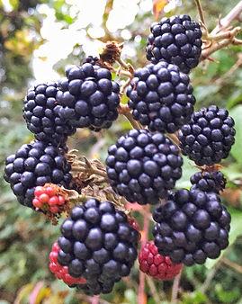 Backberries in autumn