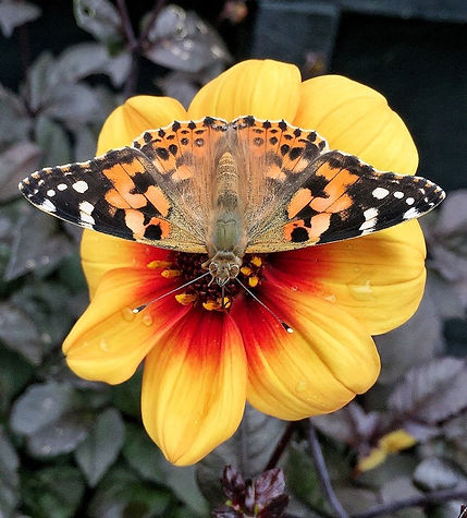 Painted Lady Butterfly on Dahlia flower