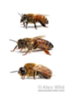 Honeybee Castes Queen, Worker and Drone