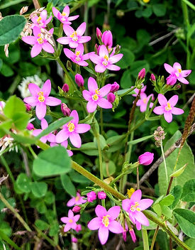 Common Centaury Wildflower at Wildacres