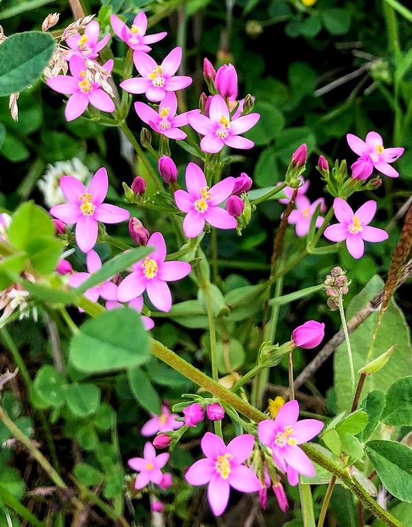 Common Centaury Centaurium erythraea