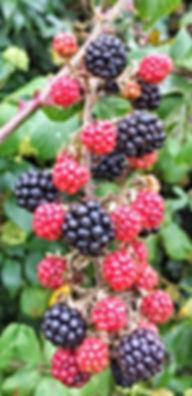 Leinster Honey Farm beautifull Blackberrys