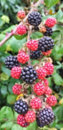 Blackberries Leinster Honey Farm