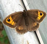 Meadow BrownManiola jurtina                              