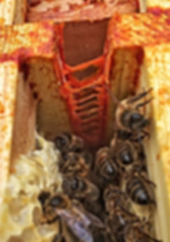 Propolis inside the Beehive
