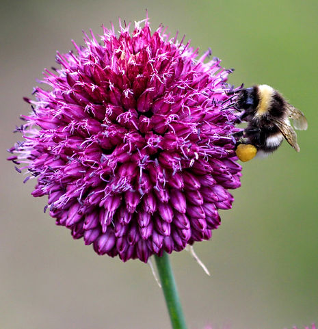 Bumblebee with full pollen baskets on Alium sphaeracephalon