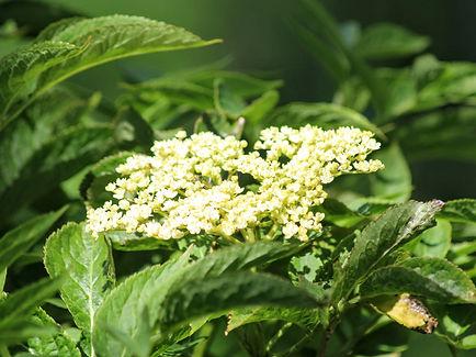 ElderberrySambuca nigra