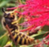 Common Wasp on Bottlebrush