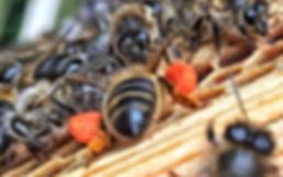 Honeybee loaded with orange Pollen