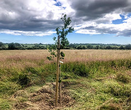 Newly planted tree  at Wildacres Nature Reserve