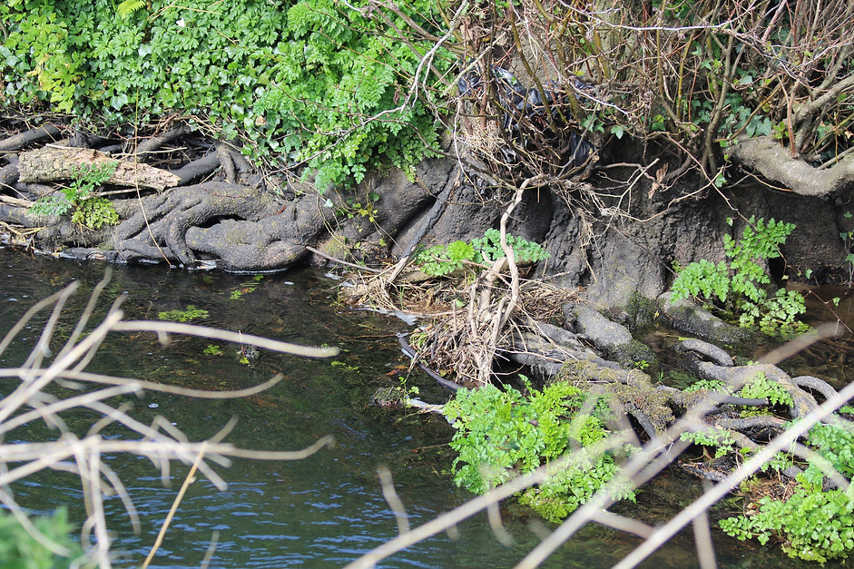 Tree roots stabilizing the riverbank