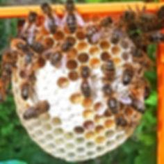 New Honeycomb with Pollen