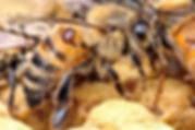 Varroa Mite on Adult Worker Bee